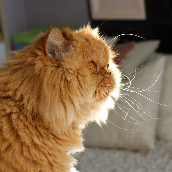 Рыжая персидская кошка в профиль